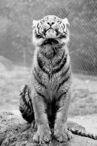 Meditating-Tiger